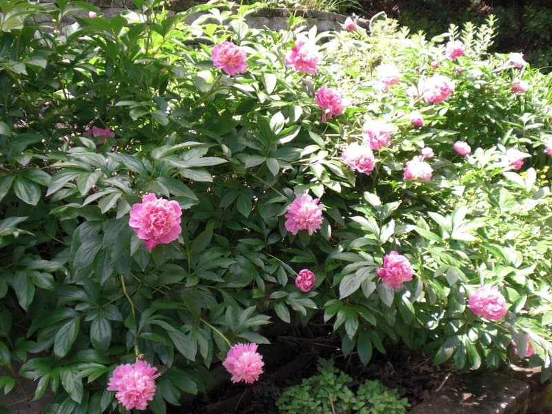 Peonies in bloom just for the waffle party.