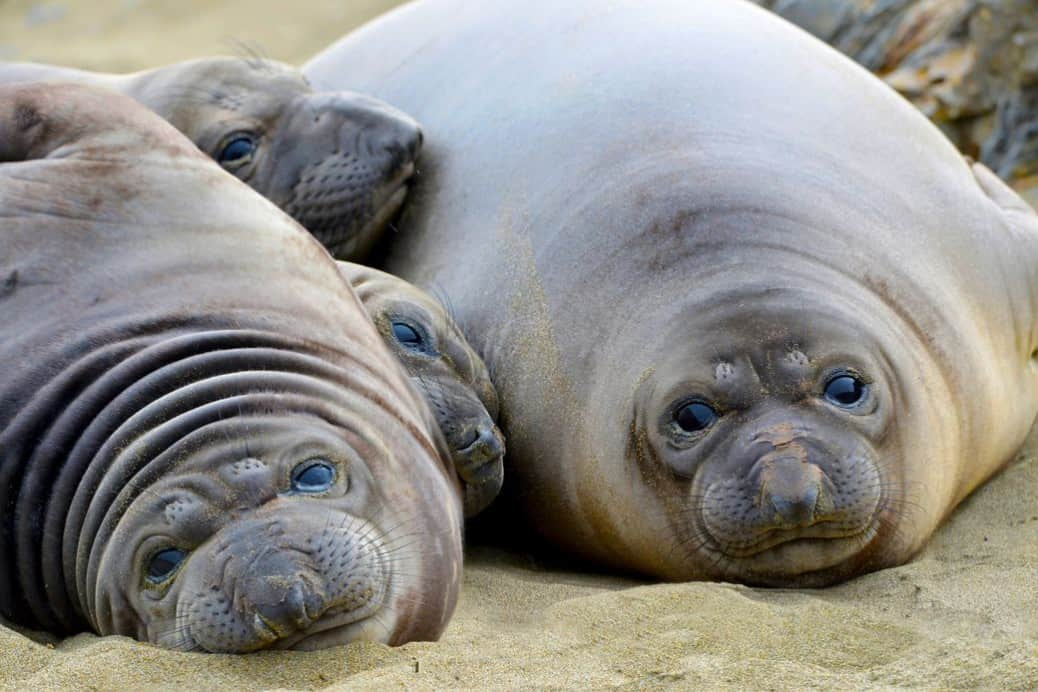 Elephant seals love to snuggle at a vegan waffle party (Fotolia)